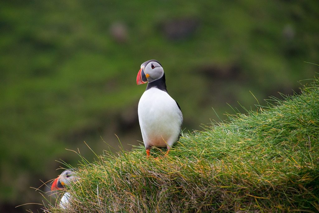 puffins in Mykines, Faroe Islands