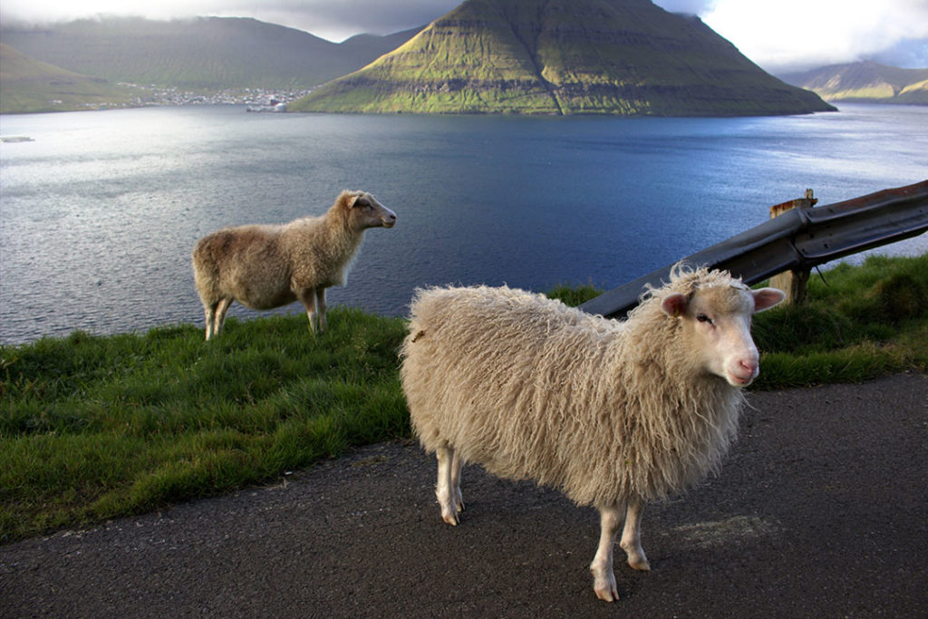 There are 70,000 sheep in the Faroe Islands