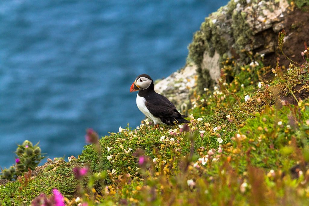 A puffin rests on a cliff edge on Skomer Island in Wale