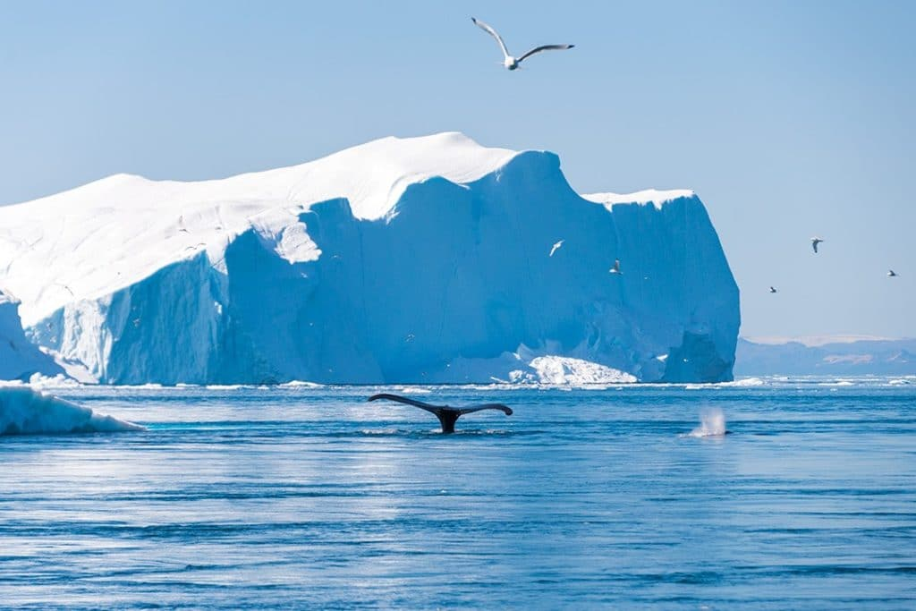 things to do in Ilulissat whale watching