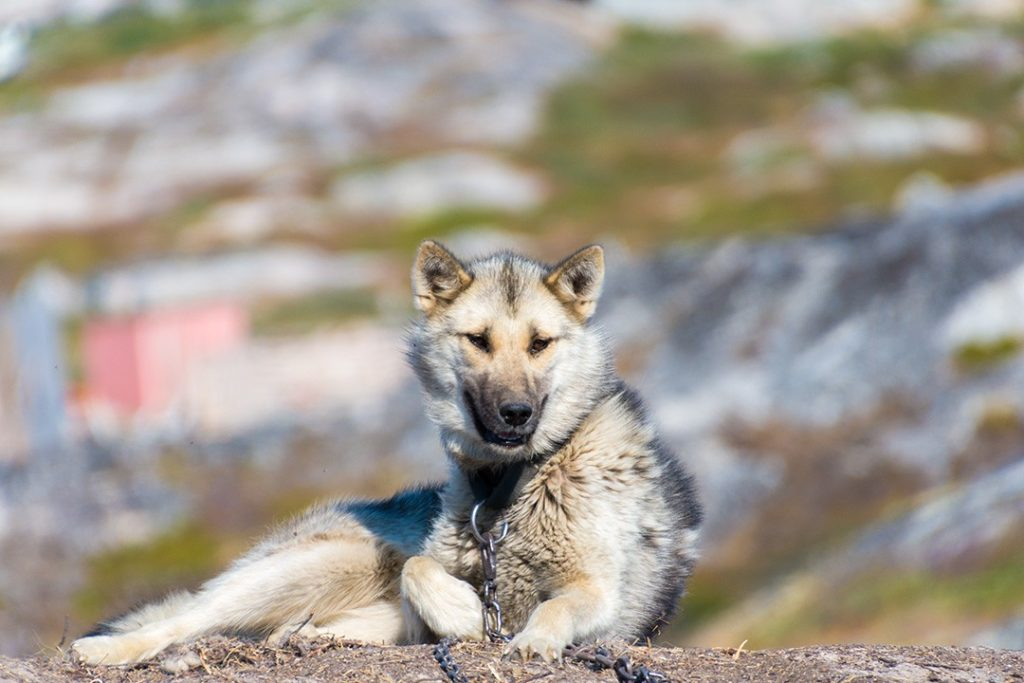 hiking around ilulissat sled dog