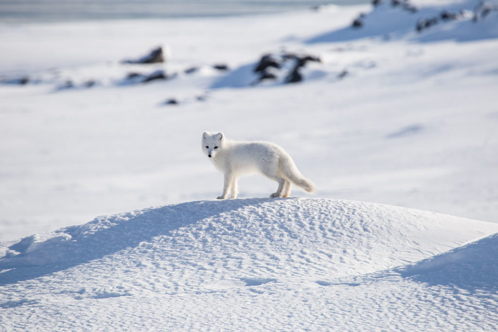 An Arctic fox in Spitsbergen, Norway