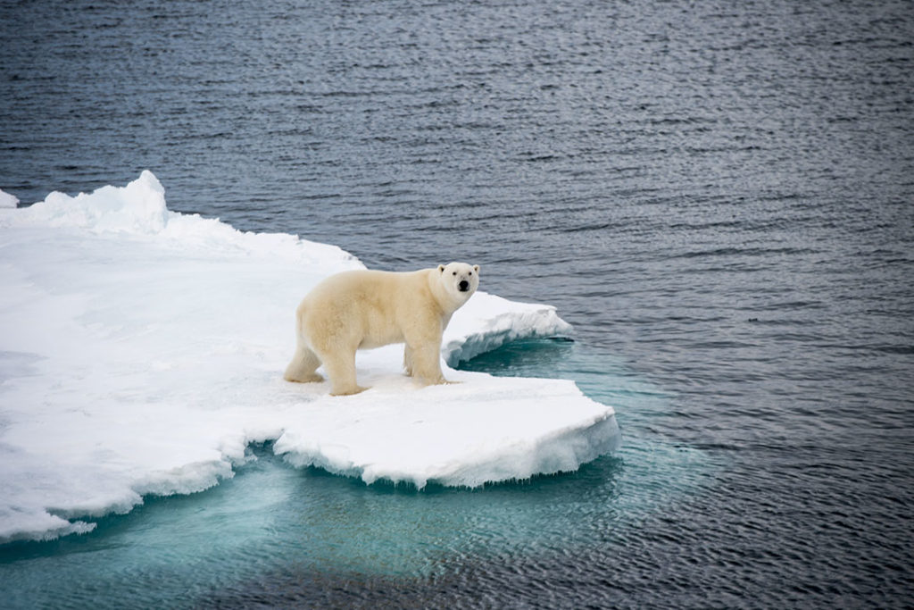 Shrinking sea ice poses a grave risk to polar bears