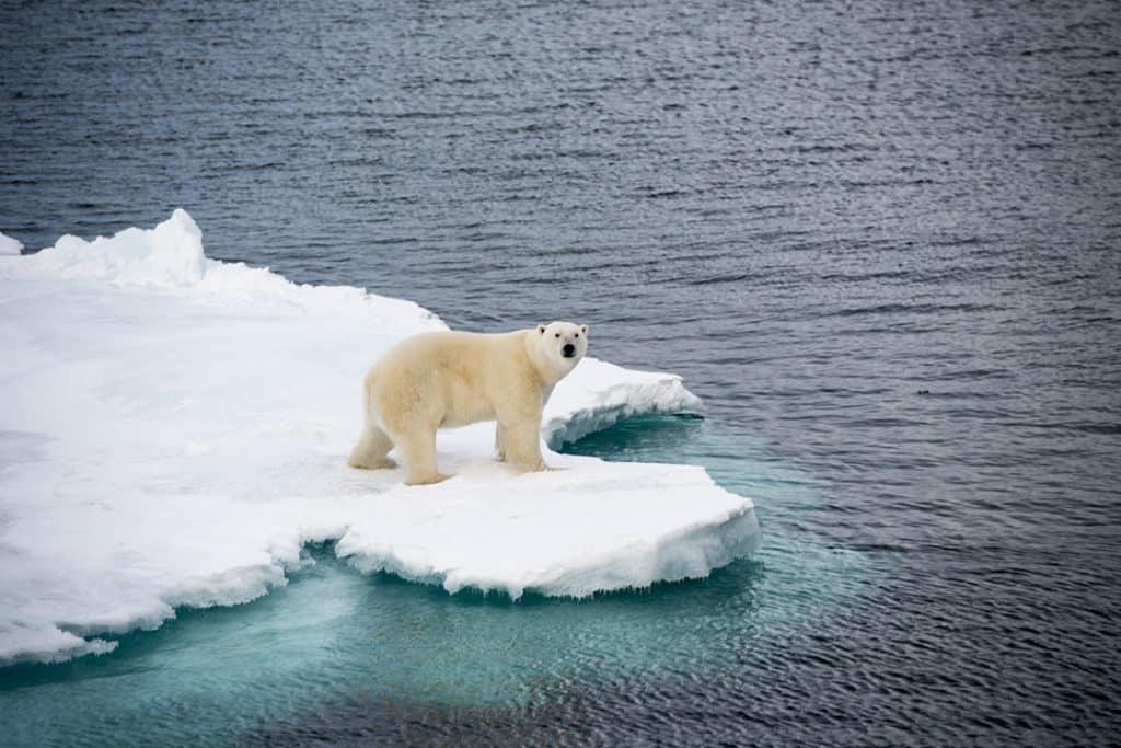 Сокращение морского льда представляет серьезную опасность для белых медведей 20 интересных фактов о Арктике 20 интересных фактов о Арктике interesting facts about the arctic sea ice 1024x683