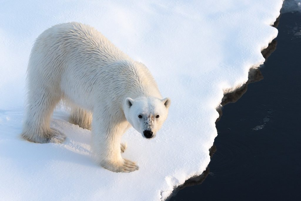 A polar bear on ice