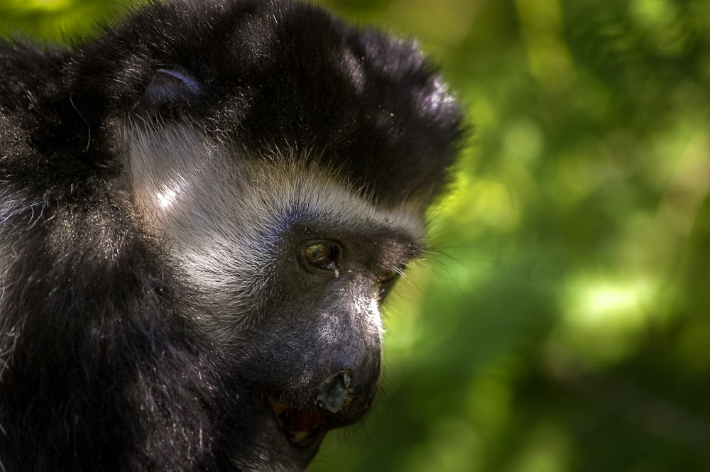 Climbing Kilimanjaro monkey