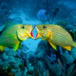 Grunt fish duel for mates at one of the best dive sites in Aruba