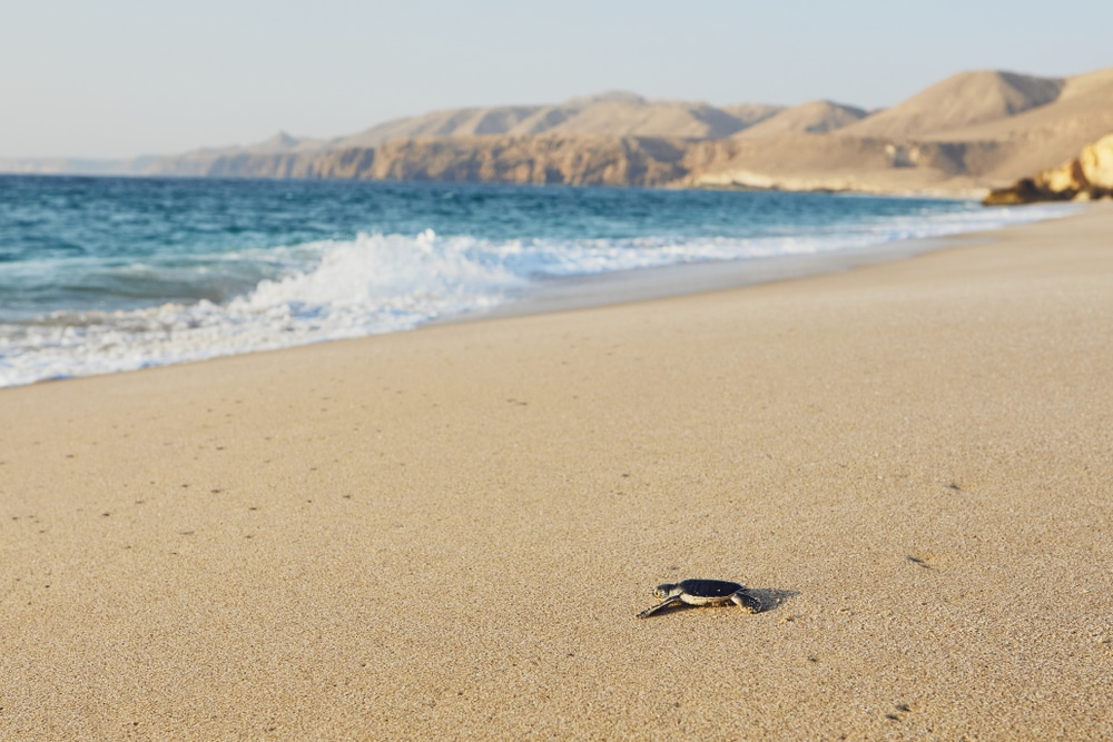 A turtle at Ras Al Jinz – one of the best things to do in Oman
