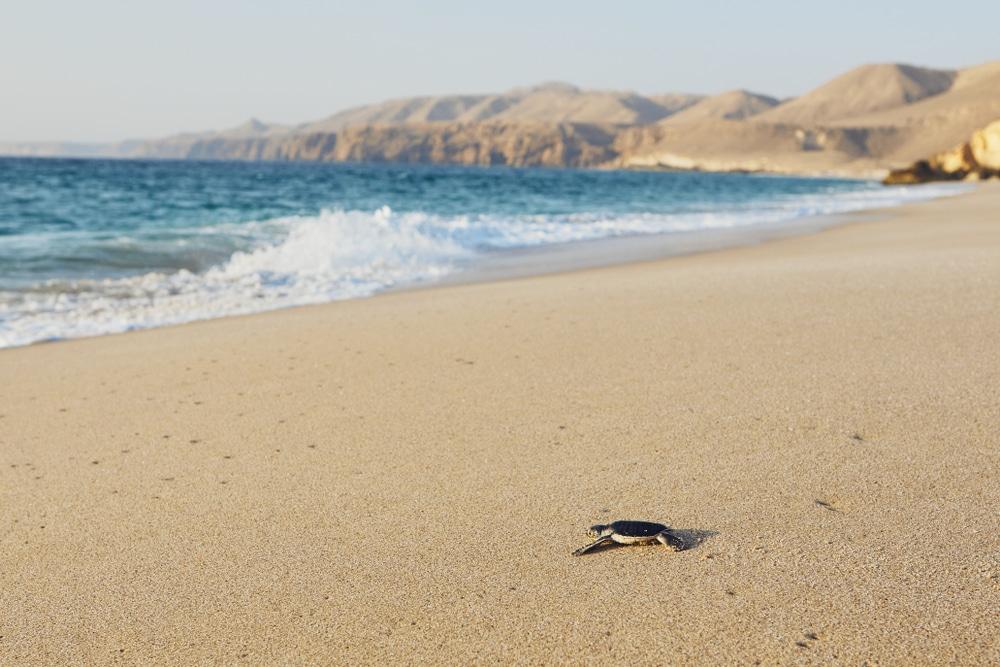 Une tortue à Ras Al Jinz: l'une des meilleures choses à faire à Oman