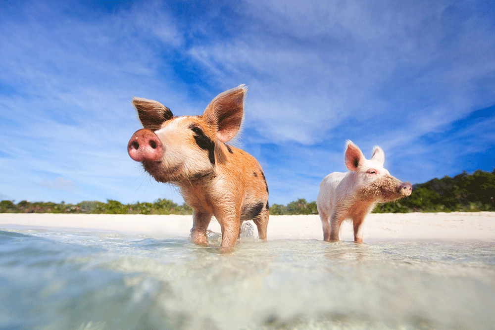 interesting facts about the bahamas: swimming pigs