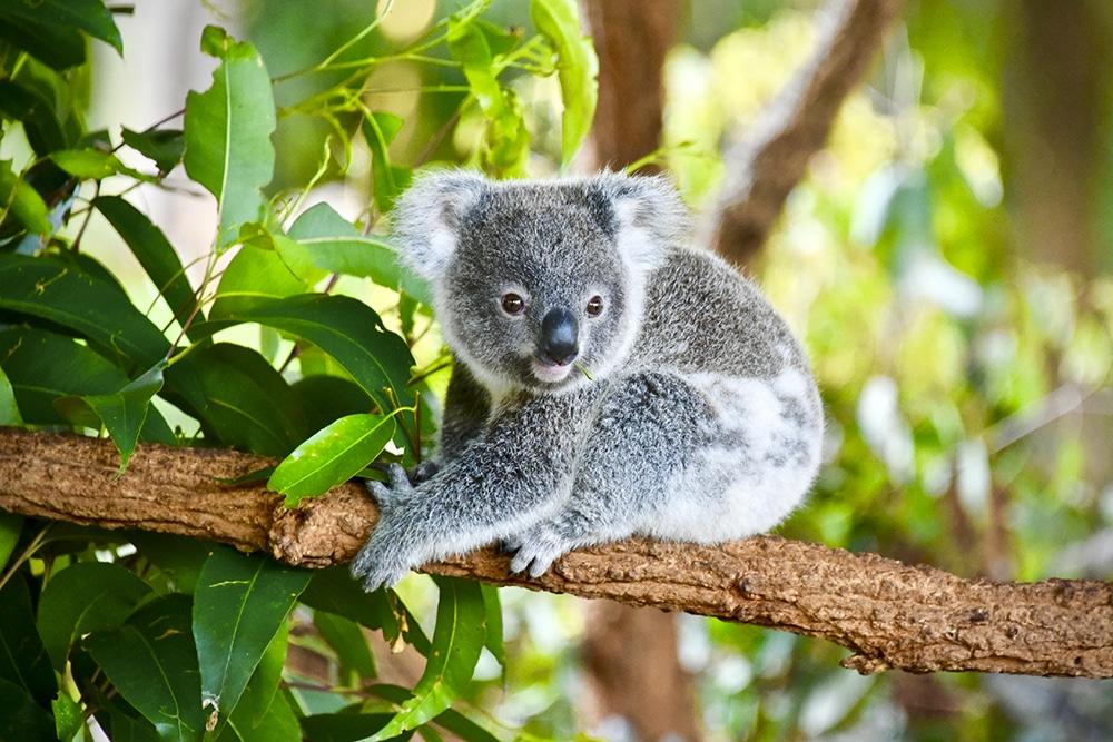 Koalas are endemic to Australia
