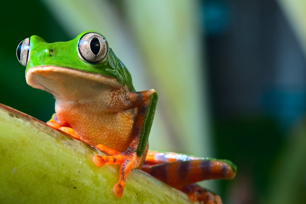 tree frog in Brazil tropical amazon rain forest megadiverse countries