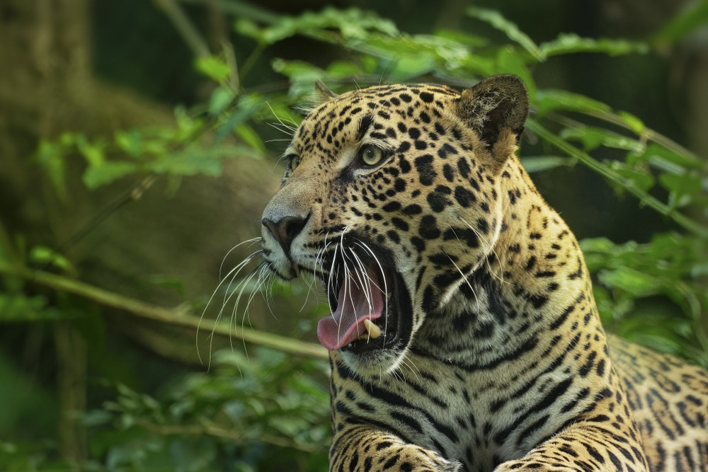 Jaguar in Brazil, one of the world's megadiverse countries