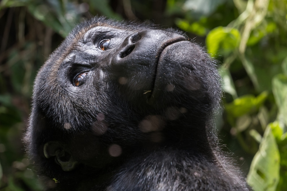 A gorilla looks into the trees in Kahuzi-Biega National Park, DRC, one of the megadiverse countries
