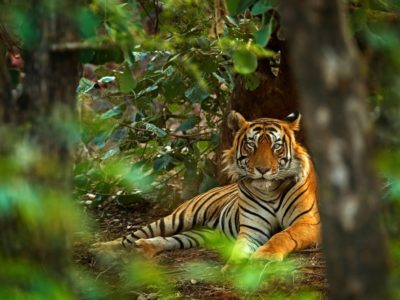 A tiger lazes in Ranthambore in India