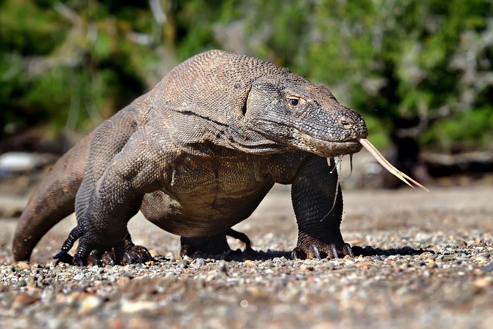 megadiverse countries: Indonesia's famous Komodo dragon