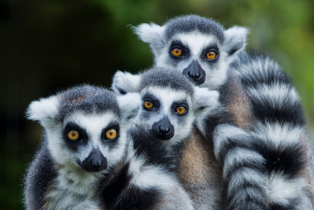megadiverse countries: A trio of lemurs in Madagascar, one of the world's megadiverse countries