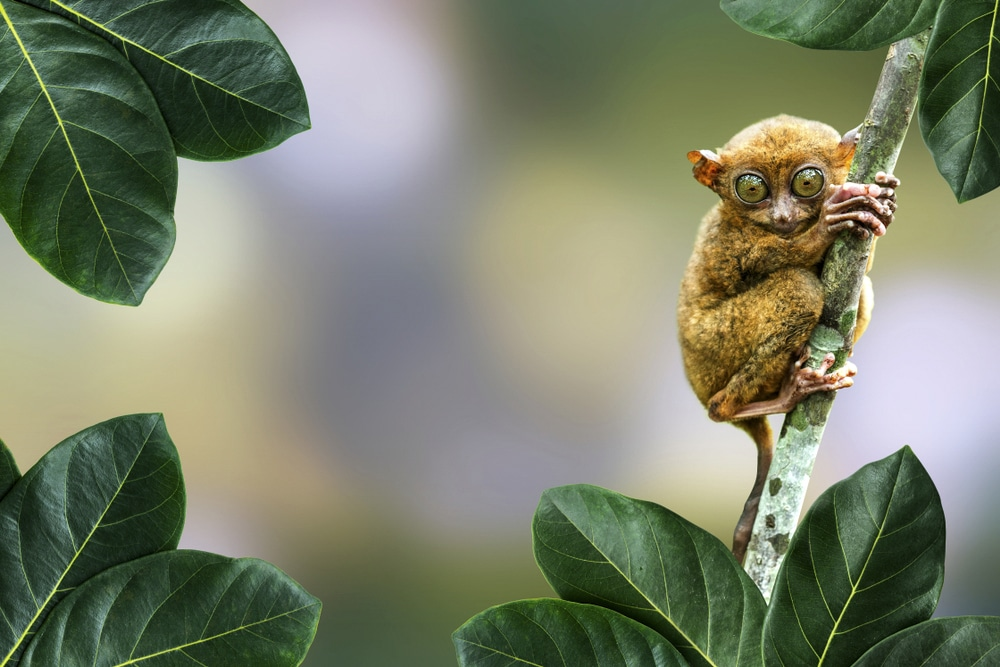 The Philippine tarsier is endemic to the country, one of the megadiverse countries