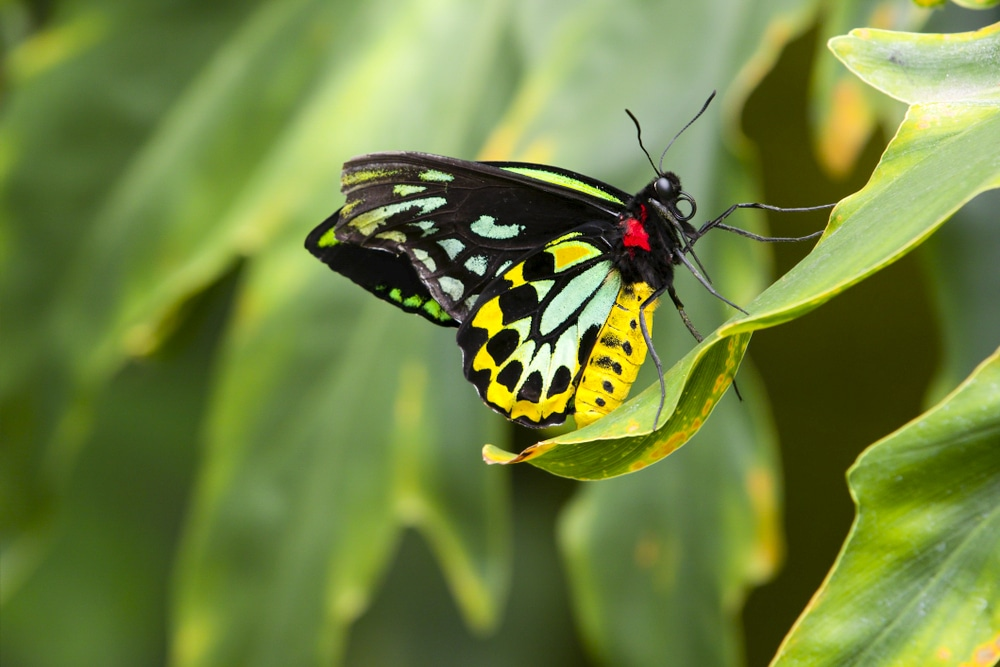 A Queen Alexandra Birdwing butterfly in one of the world's megadiverse countries
