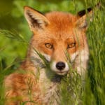 ways nature is flourishing under lockdown fox