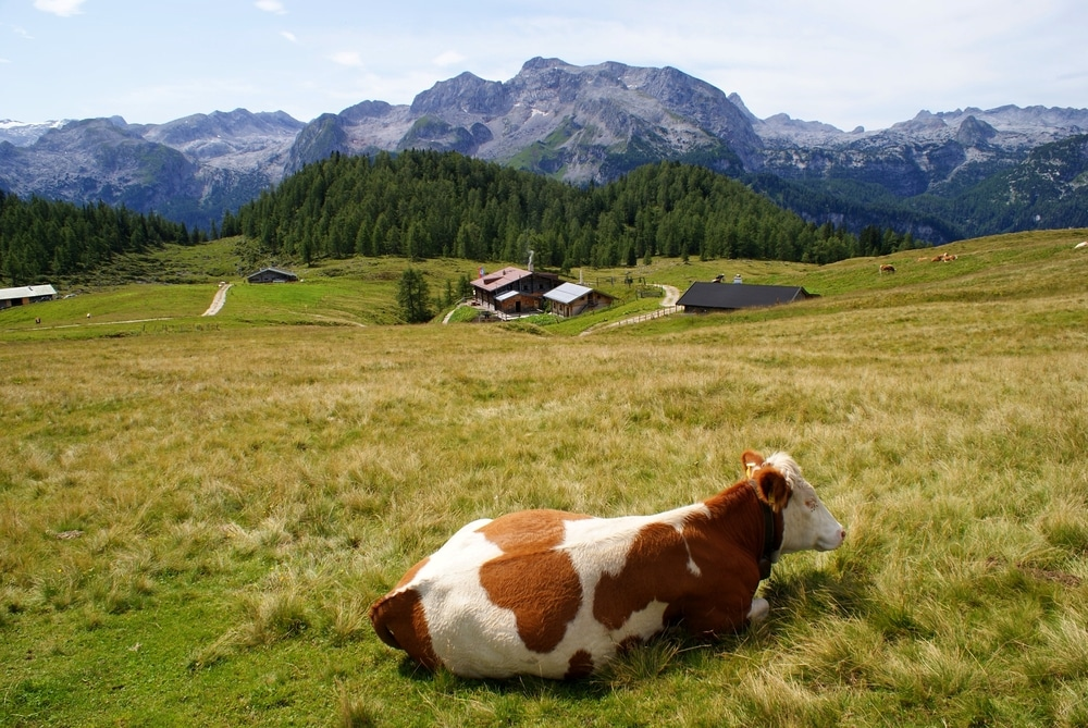 A cow rests in front of the Gotzenalm hut
