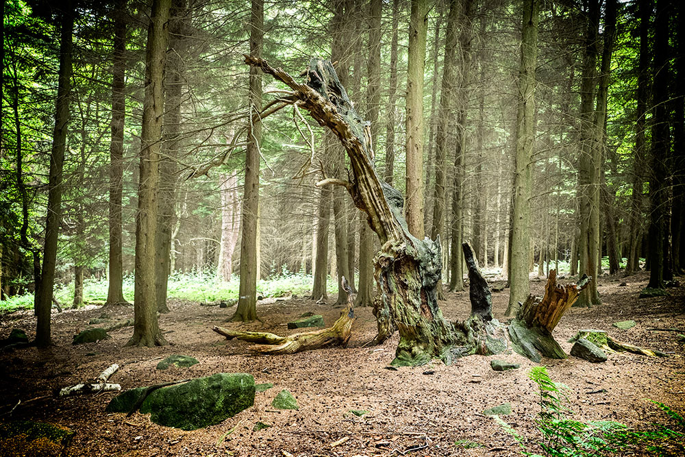 The 2,000-year-old yew tree that inspired Rock-A-Bye Baby