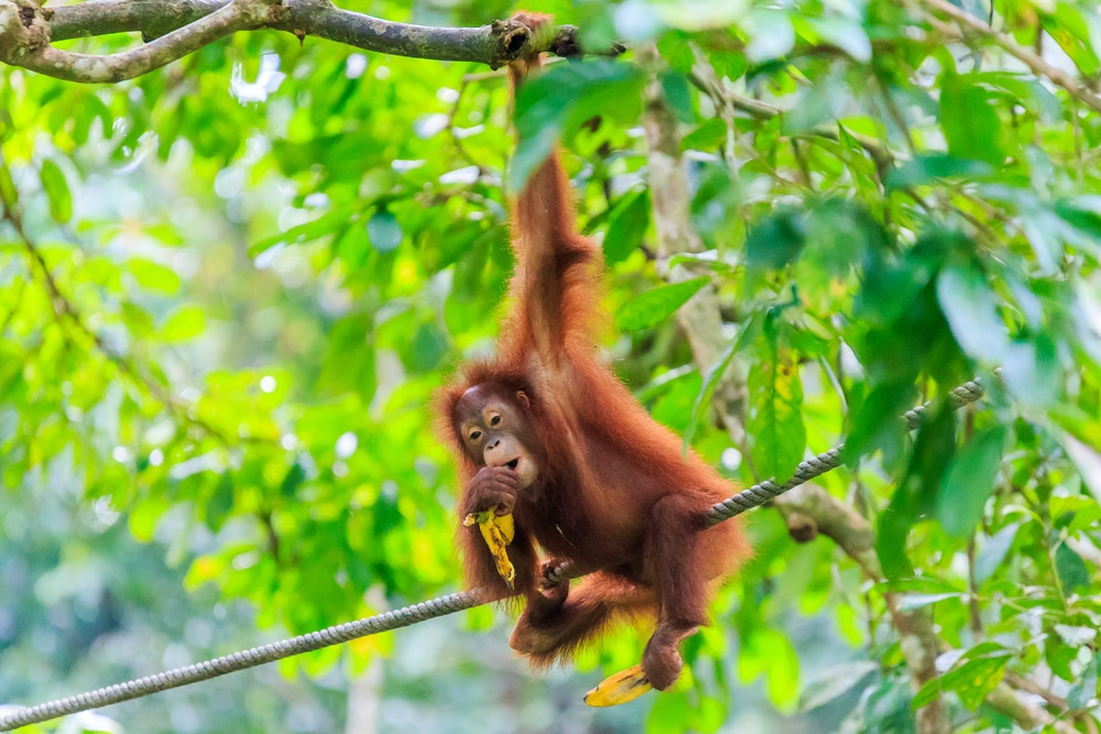 Orangutans can be found on Borneo and Sumatra