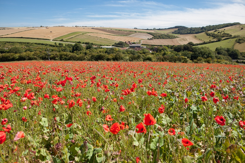 Poppy fields along the South Downs Way