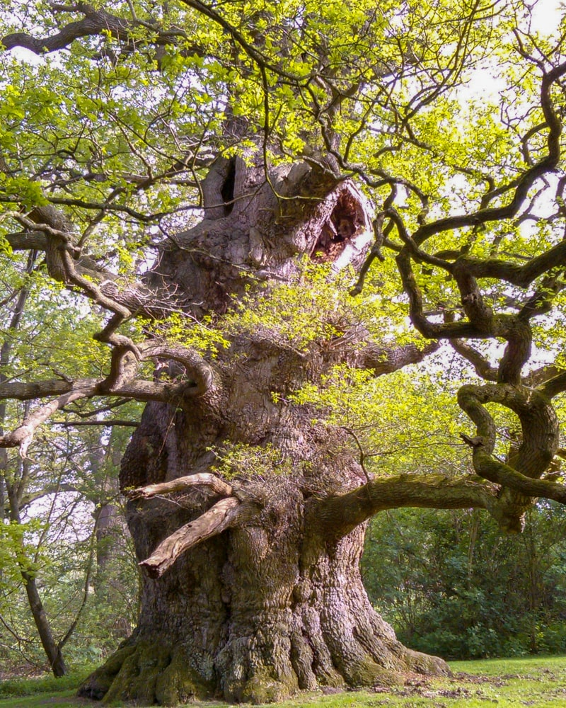 The Majesty Oak has the biggest single stem in the country