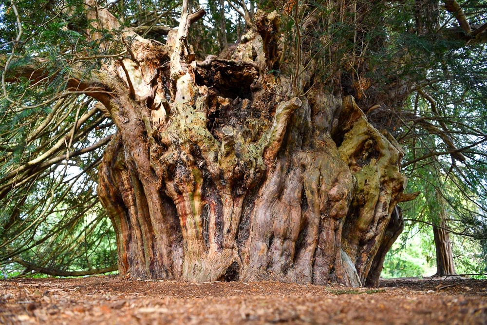 This 2,500 yew bore witness to the sealing of the Magna Carta: best trees in britain