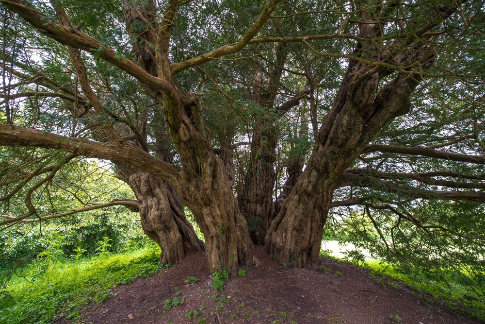 The 3,000-year-old Ashbrittle Yew