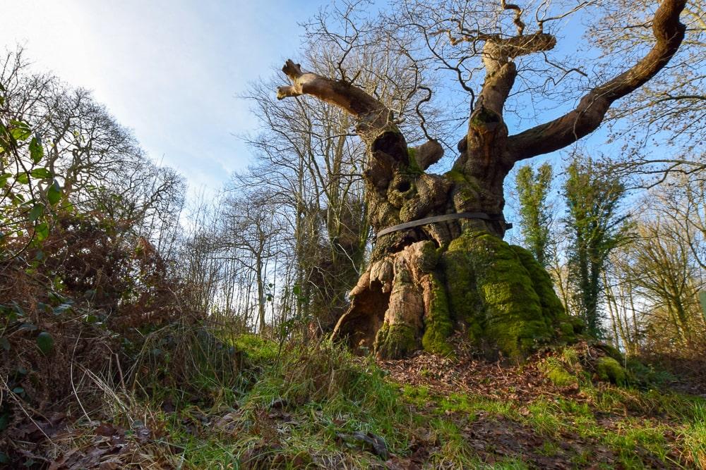 The devilish Big Belly Oak