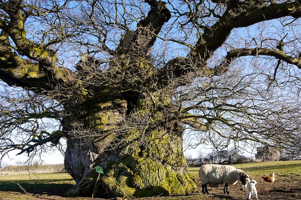 It's said that 20 people could dine inside it the Bowthorpe Oak