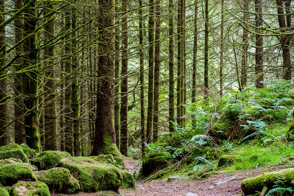 The tallest tree in the UK is in Gwydyr Forest
