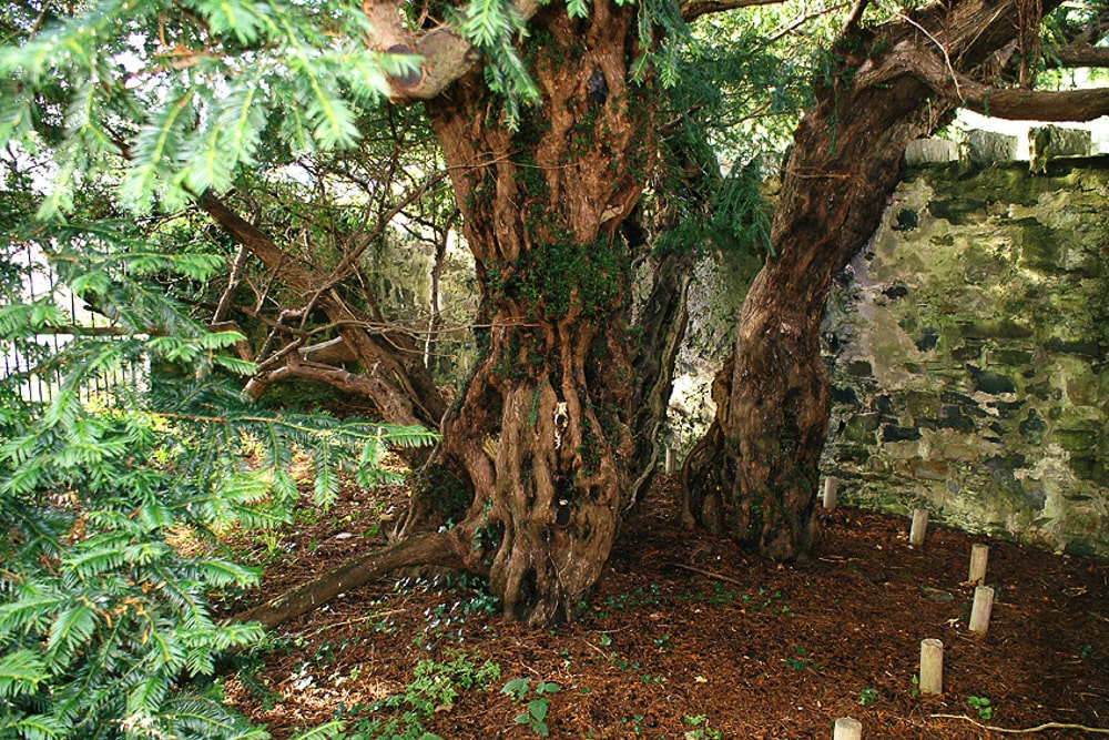 best trees in britain: fortingall yew