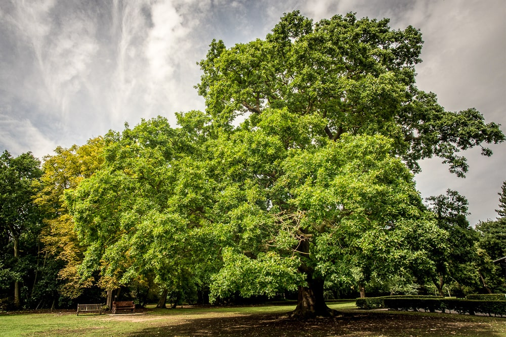 """The Gillwell Oak inspired """"the moral of the acorn and the oak"""""""