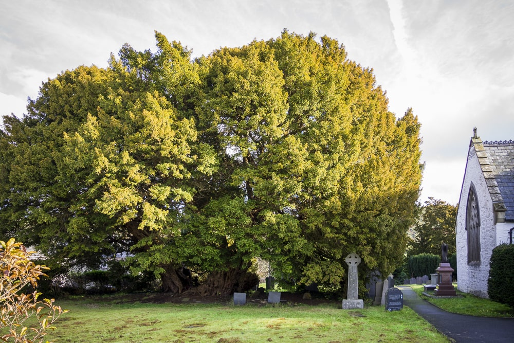 This Llangernyw yew is one of the oldest trees in the UK: britain's best trees