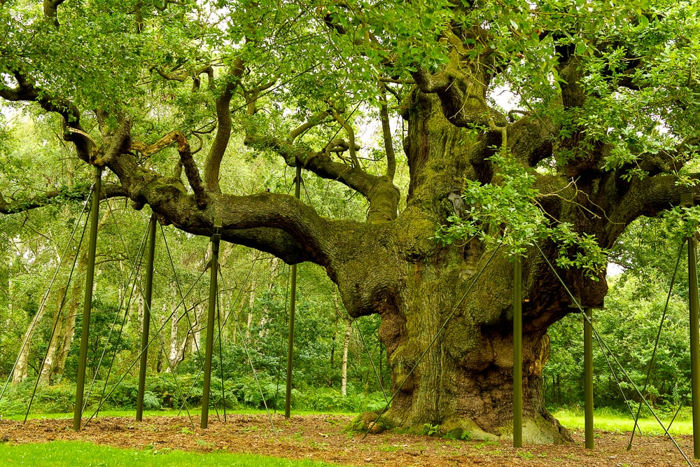 Major Oak in Sherwood Forest reportedly provided shelter to Robin Hood