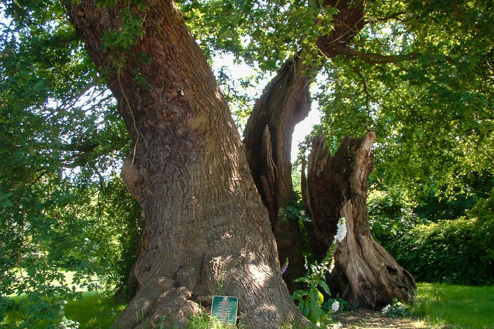best trees in britain: the marton oak
