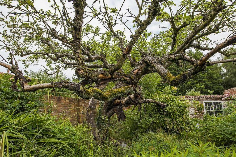 The first Bramley seedling apple tree