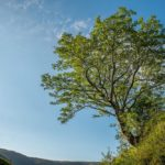 Best trees in Britain: The Survivor Tree in the Southern Uplands of Scotland