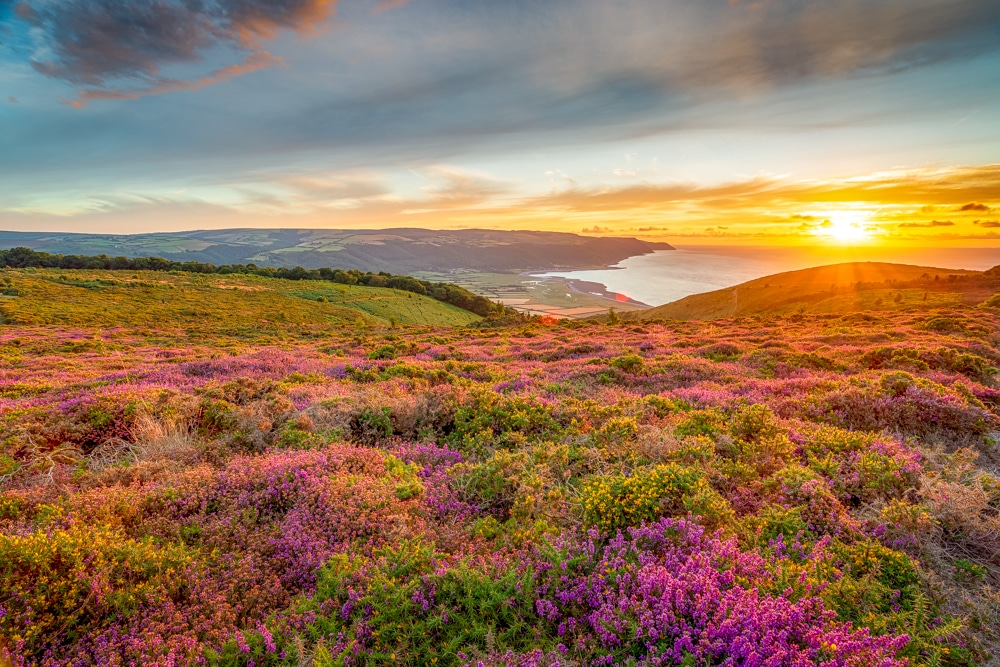 Porlock Bay and heather in Exmoor