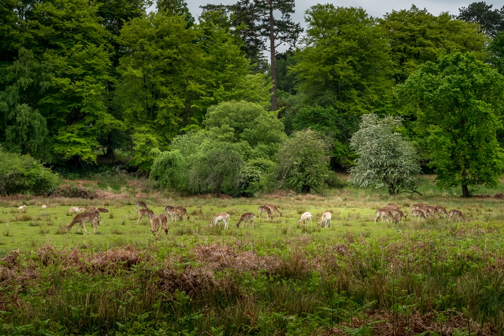 A herd of deer in Bolderwood Deer Sanctuary