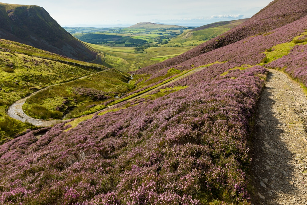 Heather on the slopes of Skiddaw